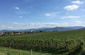 Liebliche Weinberge mit Schwarzwald